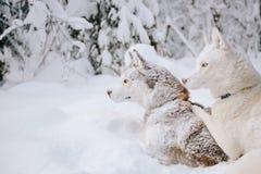 Husky hundkapplöpning Arkivbilder