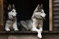 Husky hundkapplöpning Royaltyfria Foton