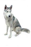 husky isolerad siberian Fotografering för Bildbyråer