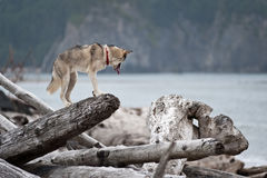 Husky jumping over logs Royalty Free Stock Photos