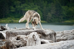 Husky jumping over logs Stock Photo