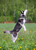 Husky jumps Royalty Free Stock Images