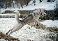 Husky jumps Stock Images