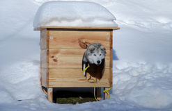 Husky in a a kennel. Husky dog trained for the sledge looking out from the  kennel, covered with snow Royalty Free Stock Images