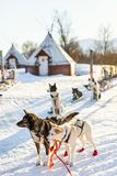 Husky dogs. Husky kennel visit in Northern Norway Stock Photos