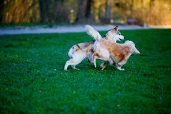 Husky and Labrador dogs frolic in a summer park. Sunny evening Royalty Free Stock Images