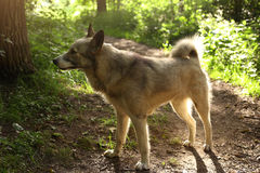 Husky laika dog walk free in summer green forest Stock Photography