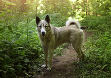 Husky laika dog walk free in summer green forest Royalty Free Stock Photos