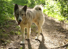 Husky laika dog walk free in summer green forest Stock Image