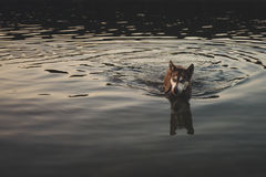 Husky in lake royalty free stock photos