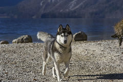 Husky on a lakeshore (2). Beautiful siberian husky on a lakeshore (Lake Bohinj in Slovenia) with a very attentive and alert body pose or expression Stock Image