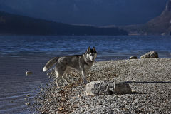 Husky on a lakeshore (2). Beautiful siberian husky on a lakeshore (Lake Bohinj in Slovenia Royalty Free Stock Photography