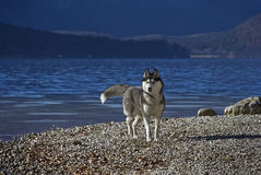 Husky on a lakeshore. Beautiful siberian husky on a lakeshore (Lake Bohinj in Slovenia) with a very attentive and alert body pose or expression Royalty Free Stock Photography