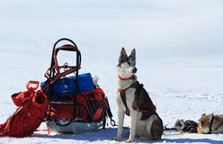 Husky in Lapland Stock Photos