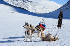 Husky in Lapland. A husky sled dogs and sled on a winter day in Lapland royalty free stock photography
