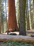 Husky with large sequoia in background. Sequoia National Park royalty free stock photo