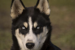 Husky laying in the grass. close up. ears erect Stock Photo