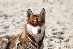 Husky laying in sun glasses on sand. Beach Royalty Free Stock Photo