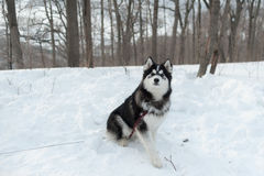 Husky on a leash, in the winter in the snow in forest. Husky on a leash, in the winter in the snow in the forest Royalty Free Stock Photo