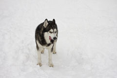 Husky licked the snow in winter, beautiful proud animal wild dog wolf snow great Stock Images