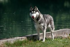 Husky licks its nose. Siberian husky dog standing next to a lake and licking its snout or nose; the dog's fur is wet after swimming in the lake Royalty Free Stock Photo