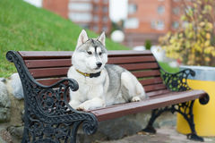 Husky lies on the bench Royalty Free Stock Images