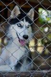 Husky locked up Royalty Free Stock Photography