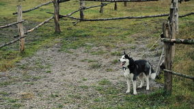 Husky looks around. Dog on background of the forest. stock video footage