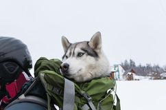 Husky looks out of the backpack on the back of a skier. Idea for transporting large dog on a ski lift royalty free stock photos