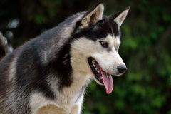 Husky looks vigilant forward Stock Image