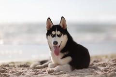 Husky lovely funny dog close up portrait on the beach royalty free stock image
