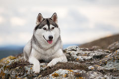 Husky lying on a rock royalty free stock image