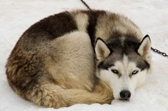 Husky lying in the snow. Husky dog with blue and brown eye lying in the snow Stock Photos