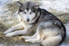 Husky lying on  snow Royalty Free Stock Image