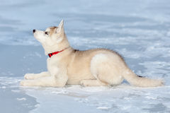 Husky lying in the snow Stock Image