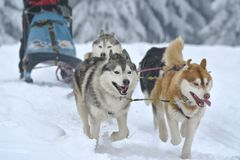 Husky and malamute dogs at the sleeding racing contest. Portrait of dogs participating in the Dog Sled Racing Contest stock photos