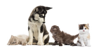 Husky malamute puppy surrounded by kittens. Husky malamute puppy sitting and surrounded by kittens Stock Photography