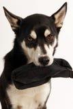 Husky Mix Dog, der seins Festlichkeitstasche hält stockbilder
