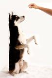 Husky Mix Dog, der seins Festlichkeitstasche hält stockfotos