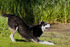 Husky Mix Dog playing Royalty Free Stock Photography