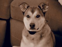 Husky Mix with Sepia filter royalty free stock images