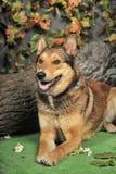 Husky mixed with a German Shepherd Stock Image