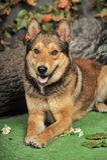 Husky mixed with a German Shepherd Royalty Free Stock Photos