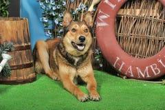 Husky mixed with a German Shepherd Stock Photography