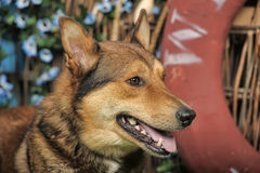 Husky mixed with a German Shepherd Stock Photography