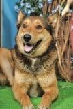 Husky mixed with a German Shepherd Stock Photos