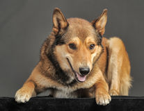 Husky mixed with a German Shepherd Stock Images