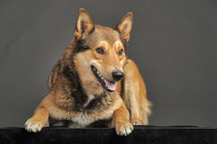 Husky mixed with a German Shepherd Stock Photo