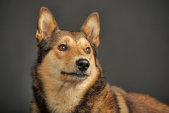 Husky mixed with a German Shepherd Royalty Free Stock Photography