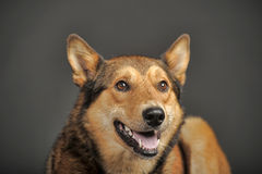 Free Husky Mixed With A German Shepherd Stock Photo - 40111870